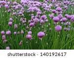 Flowering Chives  Allium...