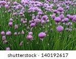 Flowering Chives  Allium...