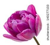 Lilac Double Peony Tulip...