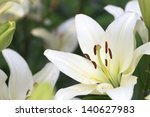 White Lily Field