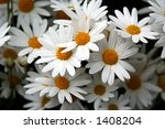 blooming daisies   Shutterstock . vector #1408204
