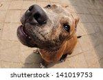 Friendly Dog Pitbull Terrier...