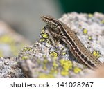 European Common Wall Lizard ...