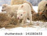Herd Of Sheep Skudde With Lamb...
