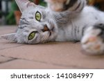 Stock photo cat lies and stretch her paws 141084997