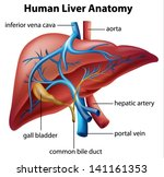 illustration of the human liver ... | Shutterstock .eps vector #141161353