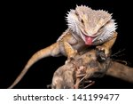 Male Bearded Dragon Sitting On...