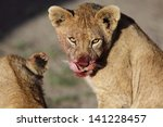 wild lion cub after feeding on... | Shutterstock . vector #141228457