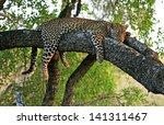 Wild African Leopard In Tree
