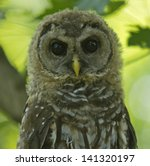 Northern Brown Spotted Owl...