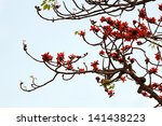Red Silk Cotton Tree   The...
