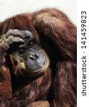 orangutan  pongo pygmaeus  an... | Shutterstock . vector #141459823
