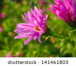 pink asters in a garden in... | Shutterstock . vector #141461803
