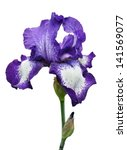 Violet Iris Flower Isolated On...