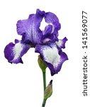 Violet Iris Flower Isolated On...