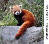 Portrait Of A Red Panda.