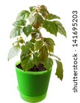 Small photo of houseplant a cissus rhombifolia in a green pot, is isolated