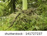Two Green Iguanas Climbing In ...