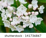 Mountain Laurel  Kalmia...