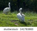 dalmatian pelican | Shutterstock . vector #141783883