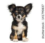 Chihuahua Puppy Sitting ...