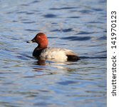 Common Pochard In Calm Water