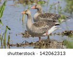 Couple Greylag Gooses Standing...