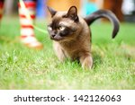 Burmese Cat Walking Outdoors O...