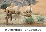 group of camels and their baby... | Shutterstock . vector #142240603