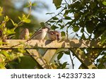 Group Of House Sparrows Sittin...