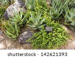 Small photo of Elephants Food, Portulacaria Afra, small-leaved semi-evergreen succulent plant, about four meters tall, found in South Africa; Aloe Family is on the photo too; Botanical Garden, Phoenix, AZ, USA