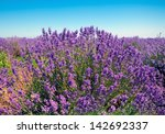 lavender field against blue sky ... | Shutterstock . vector #142692337