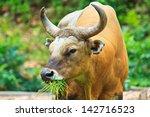 Banteng, red bull in rainforest of Thailand