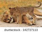 Gracie The Lioness And One Of...
