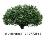 banyan tree isolated on white... | Shutterstock . vector #142772563