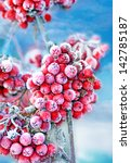 Red Frozen Rowan Berries On...