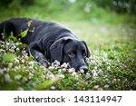 Dog Labrador Nature Of Water