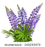 Wild Lupines Or Bluebonnet...