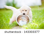 Stock photo funny golden retriever puppy carrying a bowl 143303377