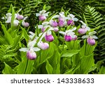 Wild Lady Slipper Orchids In A...