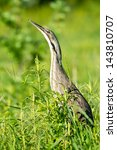 Small photo of American Bittern in the grass.