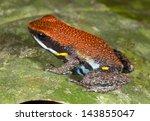 Small photo of Ecuadorian Poison Frog (Ameerega bilinguis), Ecuador
