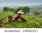 Stock photo young woman collecting tea in vicinities of city sishuanbanna 144032317