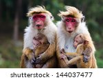 Monkey Family With Two Babies....