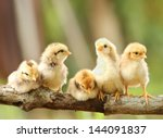 group of cute chicks on nature... | Shutterstock . vector #144091837