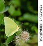 cloudless sulphur  phoebis... | Shutterstock . vector #144214813