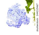 Plumbago Auriculata Lam Flower...