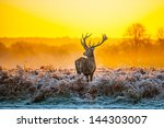 red deer in morning sun | Shutterstock . vector #144303007