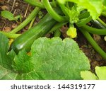 Closeup Of Zucchini And...