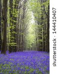 Beautiful Carpet Of Bluebell...
